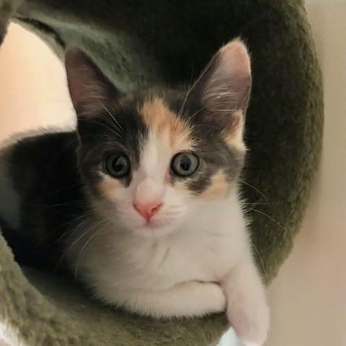 Rihanna ^^Dandy Cat Rescue^^ - Domestic Short Hair Cat