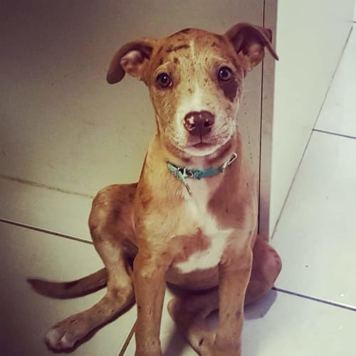Siggy - Whippet x Catahoula Dog