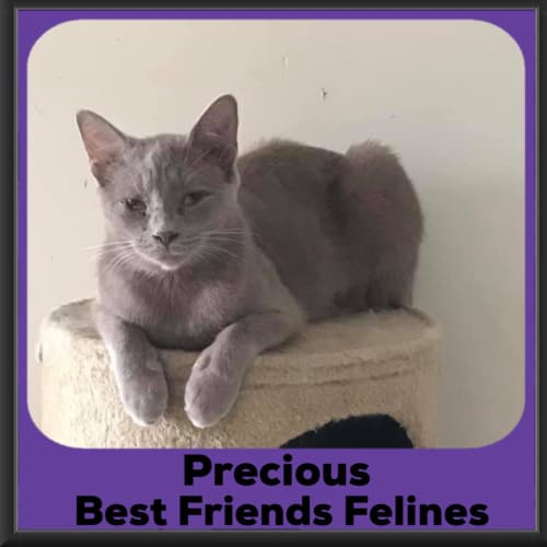 Precious  - Domestic Short Hair Cat