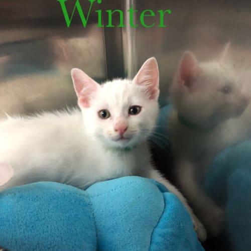 Marshmallow's 3 beautiful babies - Domestic Medium Hair Cat