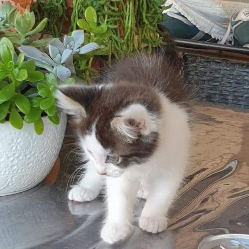 Lava - Domestic Short Hair Cat