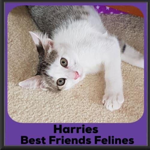 Harries  - Domestic Short Hair Cat