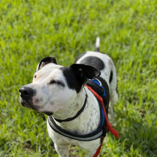 Pebble - American Staffordshire Terrier Dog