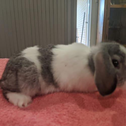 Keyla  -  Rabbit