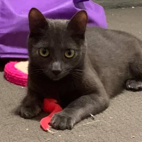 Betsy - Domestic Short Hair Cat