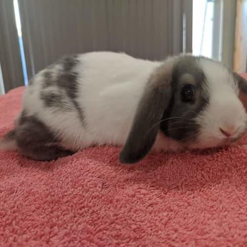 Brandi -  Rabbit