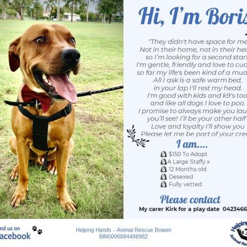 Boris - Bullmastiff Dog
