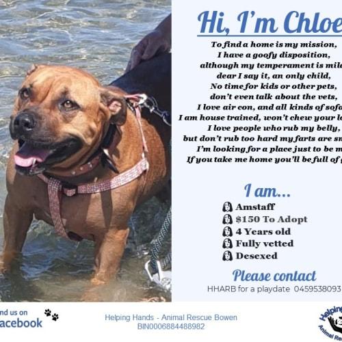 Chloe - Amstaff Dog