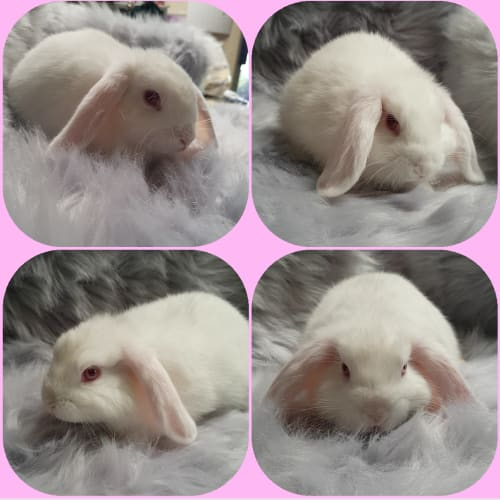 Snowball -  Rabbit