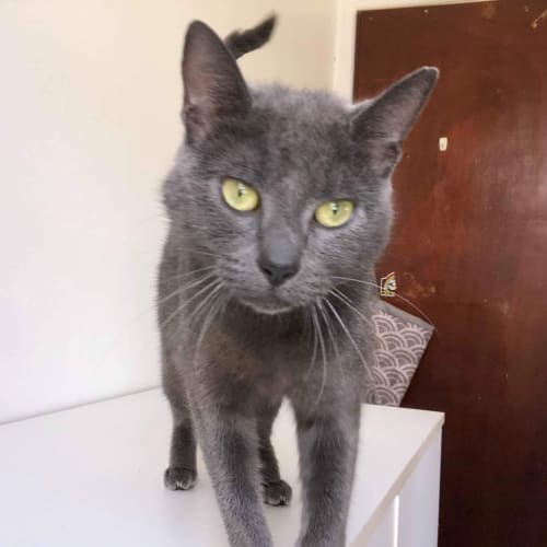 Maggie  ❤ - Domestic Short Hair Cat