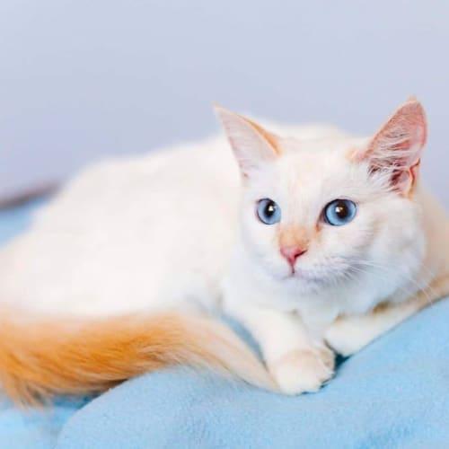 1338 – Ivy - Domestic Medium Hair Cat