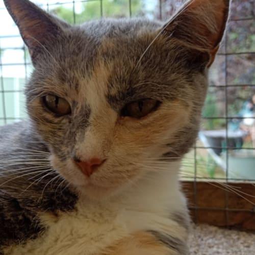 Deborah - Domestic Short Hair Cat