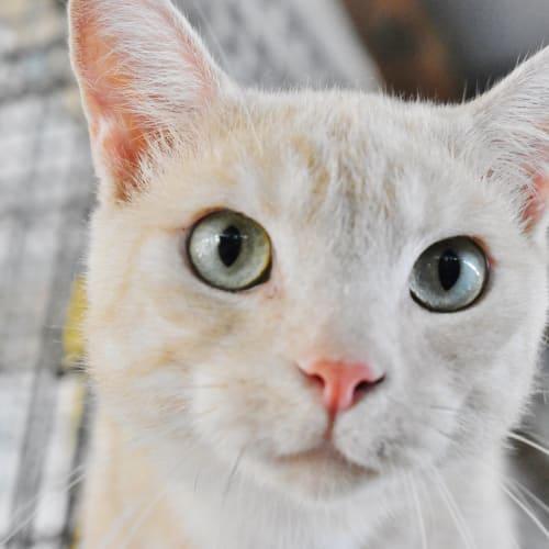 Raul - Domestic Short Hair Cat