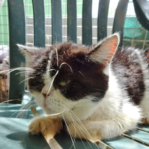 Schnookums - Persian Cat