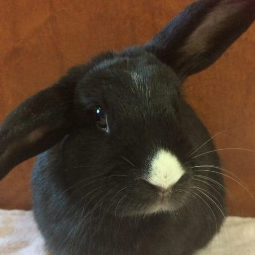 Waffles - Dwarf lop Rabbit
