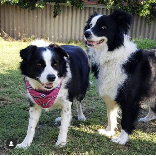 Zelda and Link  - Border Collie Dog