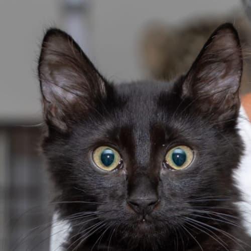 2174 - Inky - Domestic Short Hair Cat