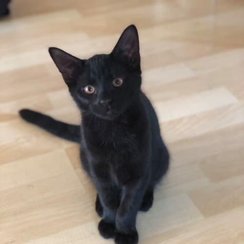 Inky (Located in Werribee) - Domestic Medium Hair Cat