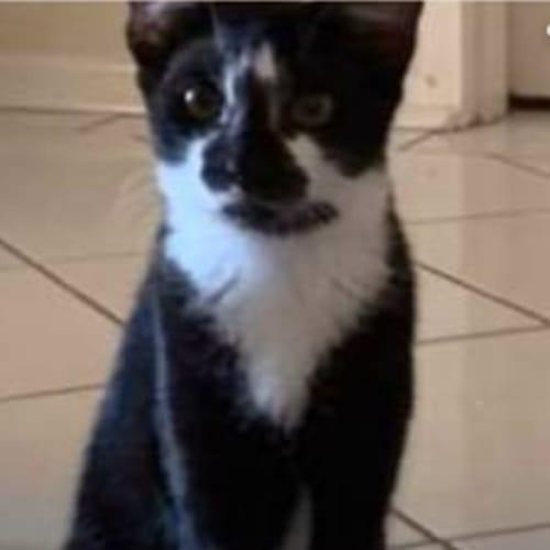 Lady - Domestic Short Hair Cat