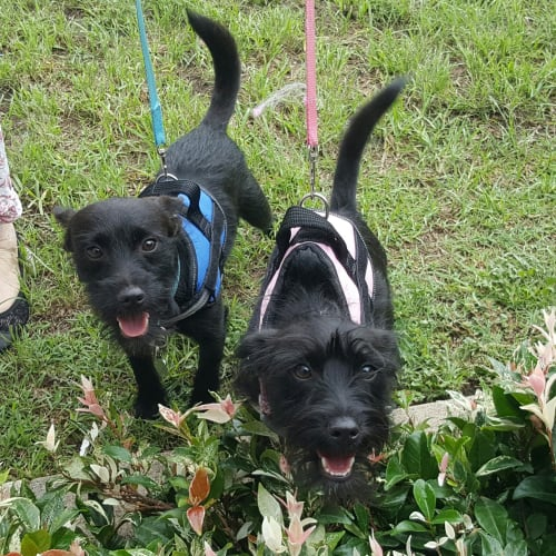 Mario & Lucy - Jack Russell Terrier x Poodle Dog