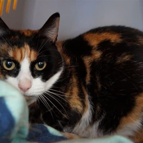 Mollie - Domestic Short Hair Cat