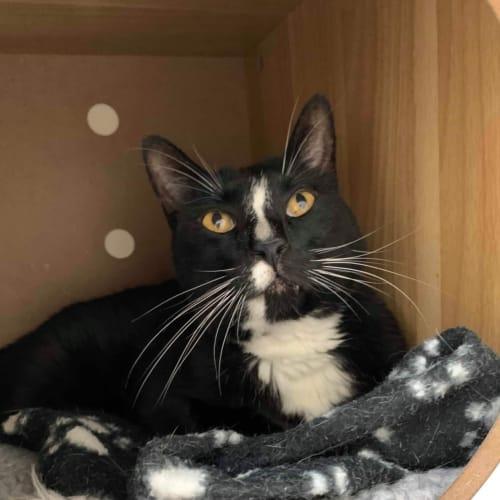 Gizmo - Meet me at Neko HQ in Preston - Domestic Short Hair Cat