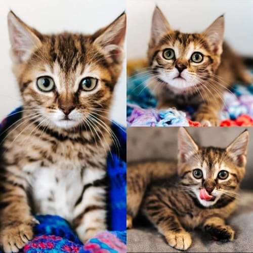 2226/2228/2227 – Aurora Mulan & Moana - Domestic Short Hair Cat