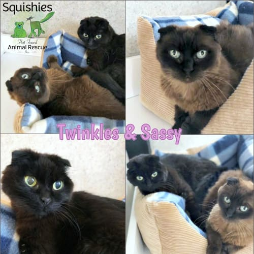 ✨ Twinkles & Sassy ✨ - Scottish Fold Cat