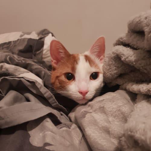 Spook - Domestic Short Hair Cat