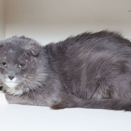 1720 - Whiskers Stallone - Domestic Medium Hair Cat