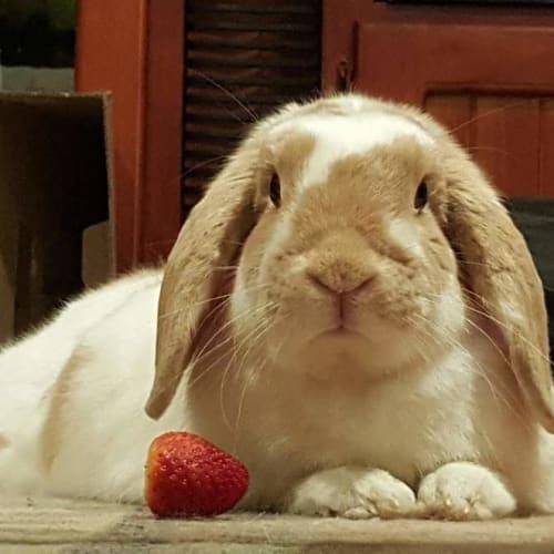Rambo  - Lop Eared Rabbit