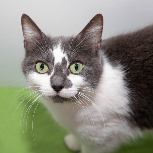 Jedda - Domestic Short Hair Cat