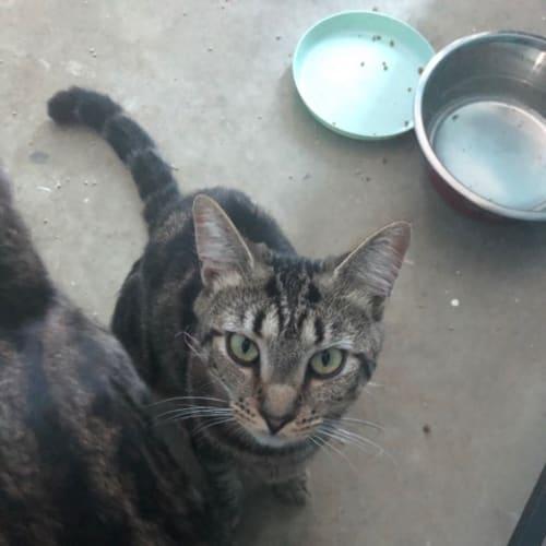 Nattie - Domestic Short Hair Cat