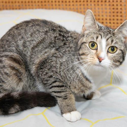 Bodicea - Visit Me at PetStock Cannington! - Domestic Short Hair Cat