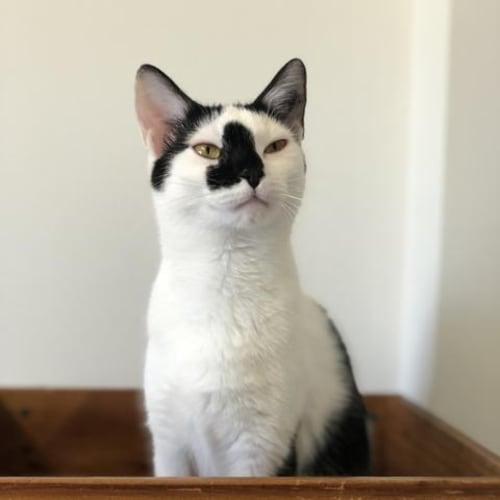 Splash - Domestic Short Hair Cat