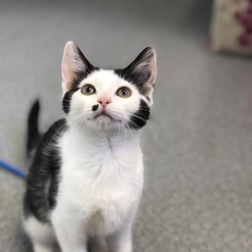 Droplet - Domestic Short Hair Cat