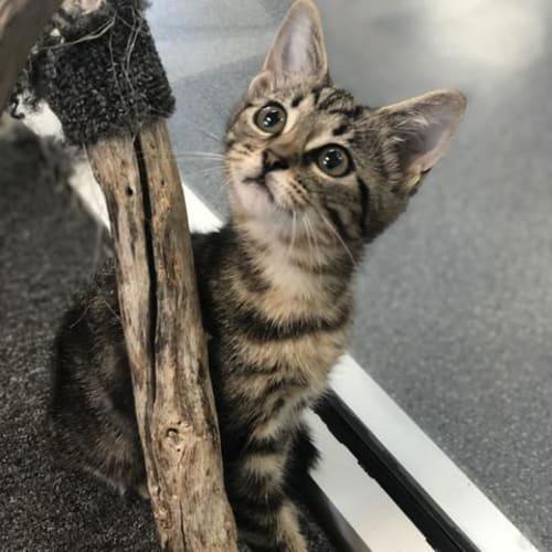 Bertie - Domestic Short Hair Cat