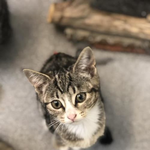 Esther - Domestic Short Hair Cat