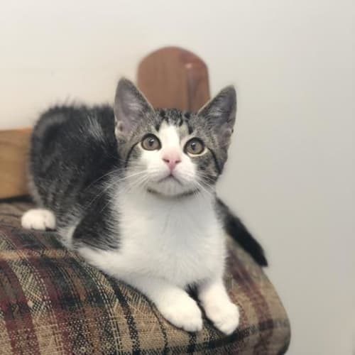 Carson - Domestic Short Hair Cat