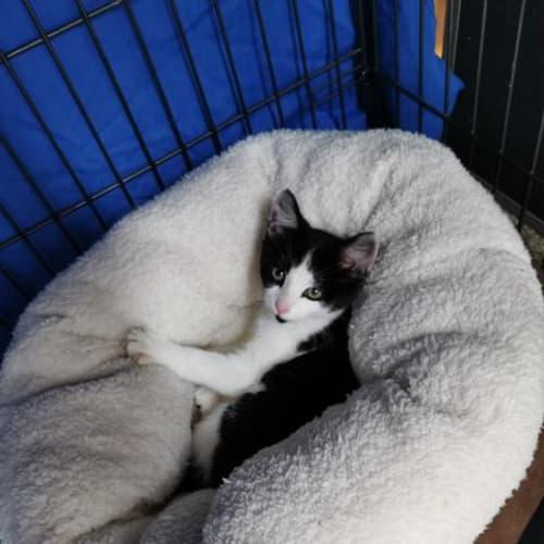 Marceline - Domestic Short Hair Cat