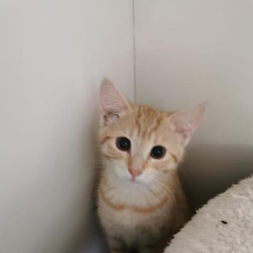 Chip - Domestic Short Hair Cat