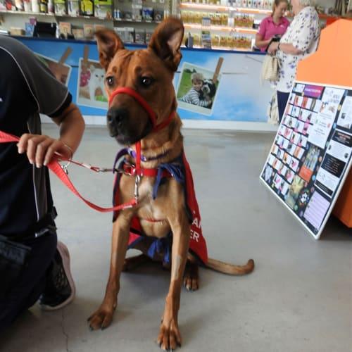 Arlo - Great Dane x Mastiff Dog