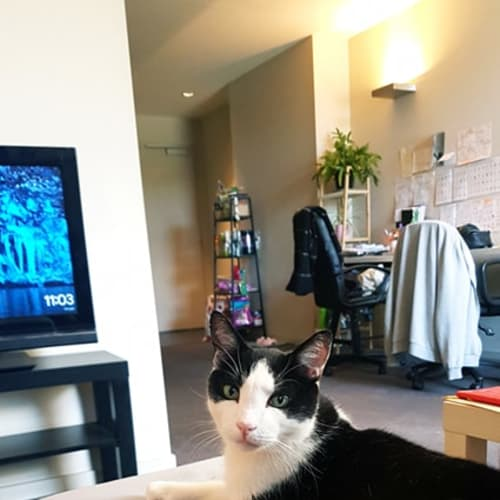 Gary (Located in East Melbourne) - Domestic Short Hair Cat