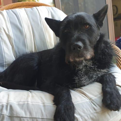 Mr Fox - Wolfhound Dog