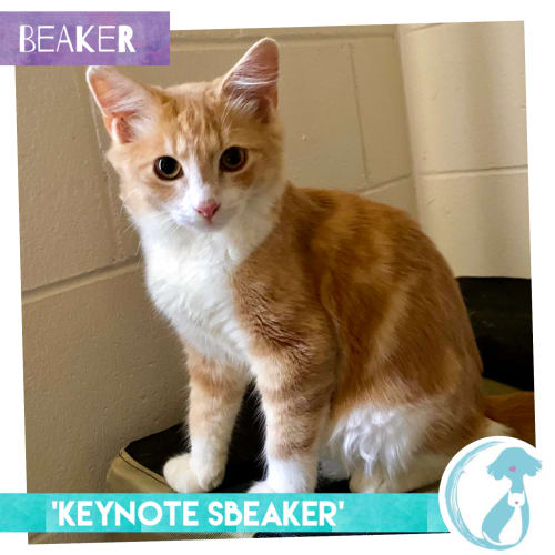 Beaker - Domestic Medium Hair Cat