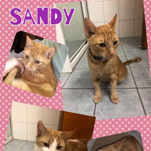 Sandy & Spooky - Domestic Short Hair Cat