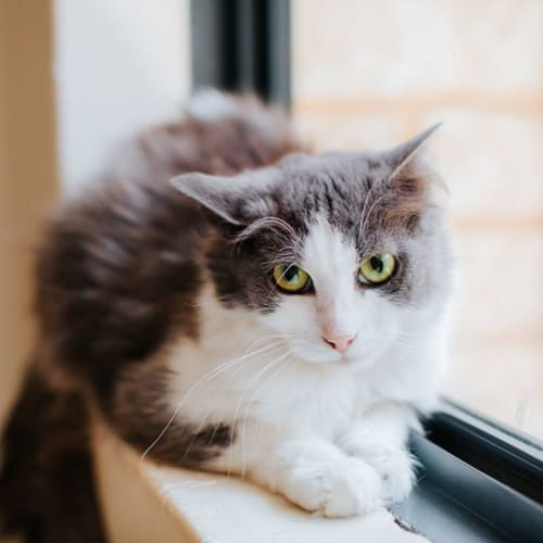 1894 - Sugarplum - Domestic Short Hair Cat