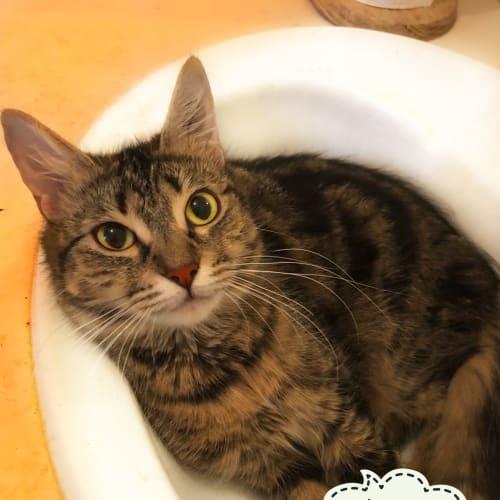 Anivia  - Domestic Short Hair Cat