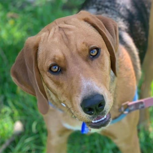 Mishka ~ 12mo Foxhound x - Foxhound Dog