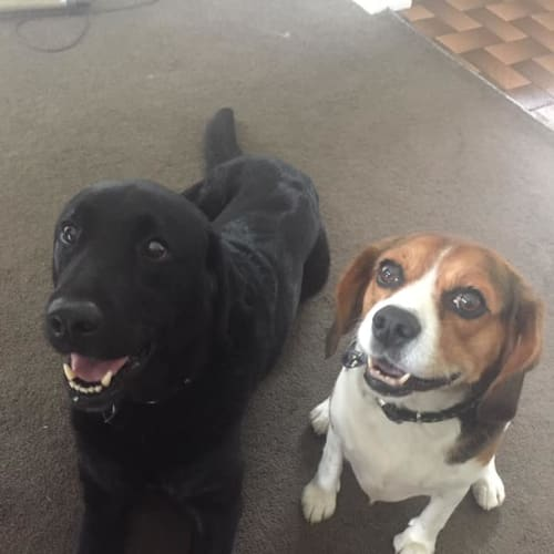 Snoopy and Zorro - Beagle x Labrador Dog
